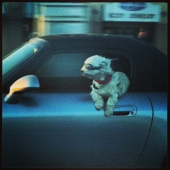 Saw this dog on the way to dinner.  #goodday